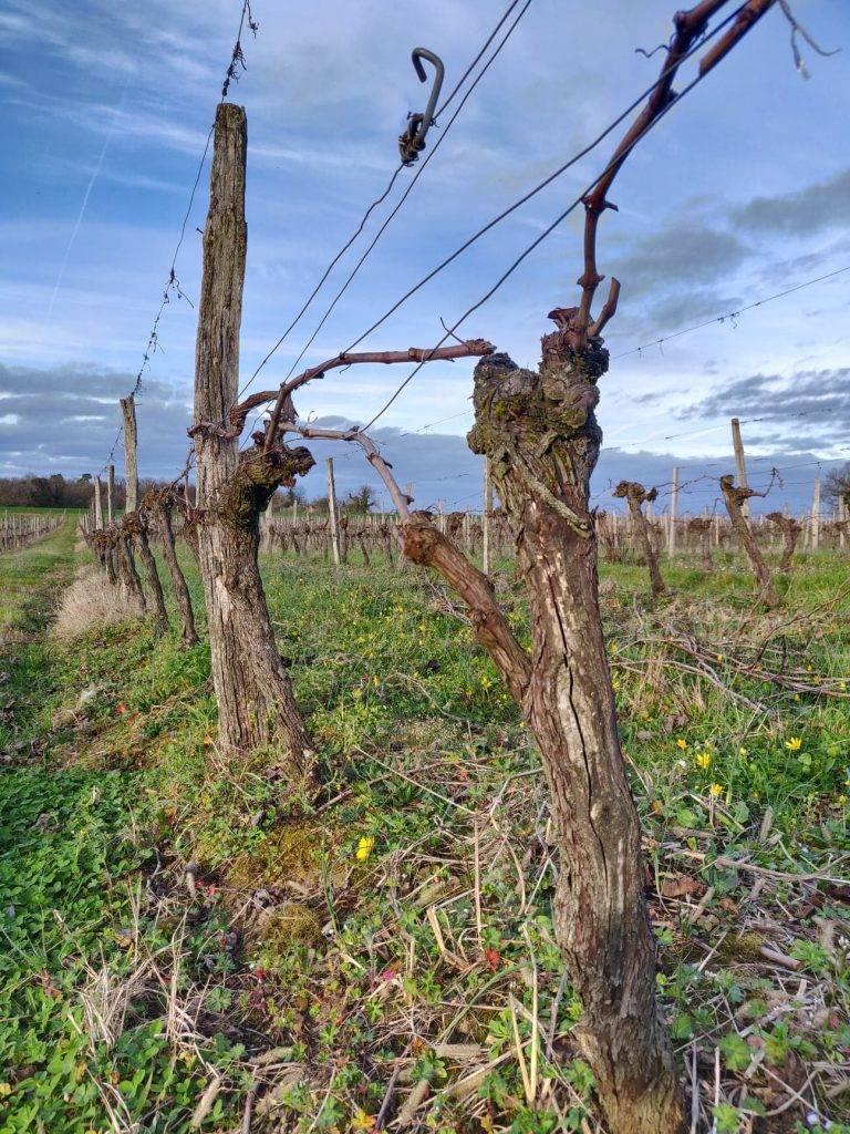 Vin - vigne - principaux cépages français
